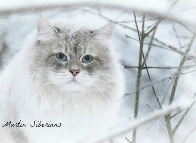 Elevage De Chats Et Chatons Siberiens Hypoallergiques Au Quebec Elevage De Chats Et De Chatons Siberiens Hypoallergenes A Quebec